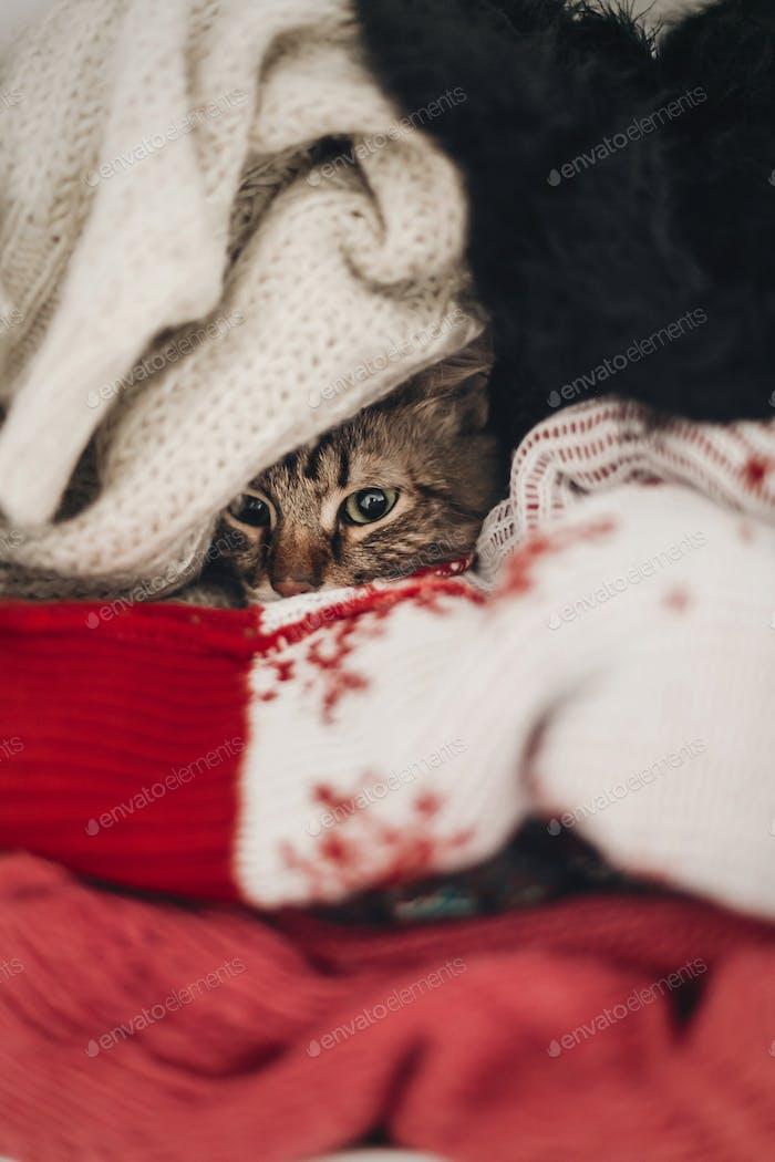 cute funny tabby cat hiding in sweaters