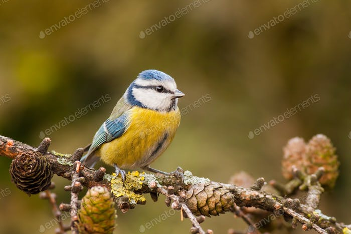 Blue tit, Cyanistes caeruleus, in autumn