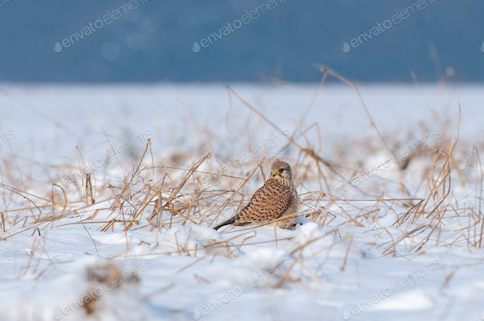 Common kestrel standing in snow and searching for food