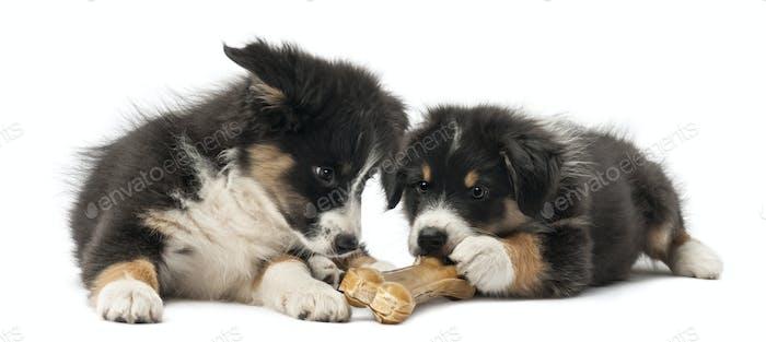 Two Australian Shepherd puppies, 2 months old