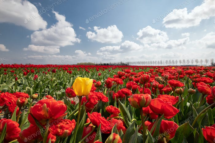 one yellow tulip among red field in sunshine