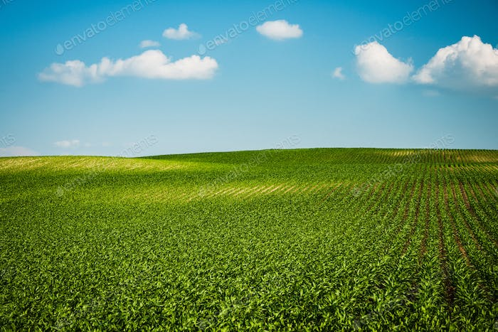 Green farm rolling hills in fields and blue sky