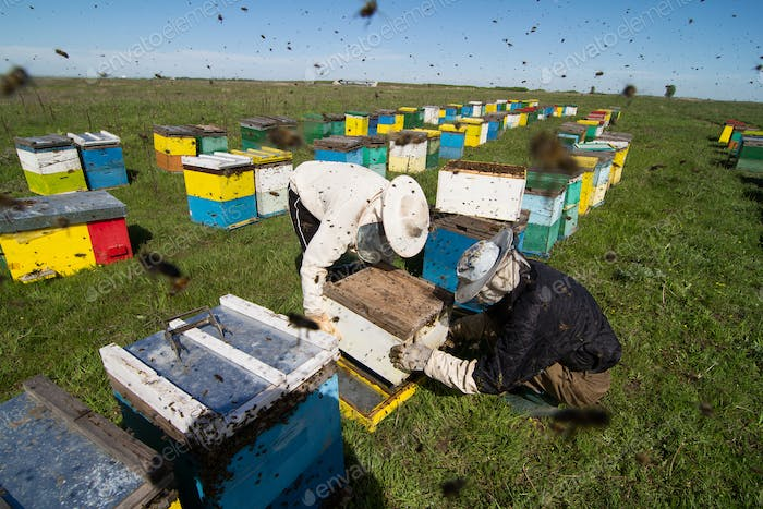 Apiarists working on the field with beehives