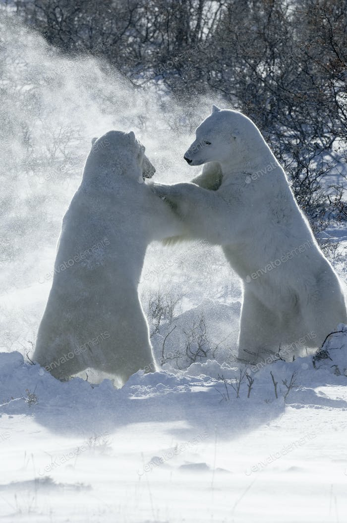 Two polar bears standing upright on their hind legs wrestling each other.