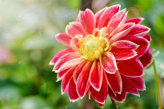 Dahlia hybrid flower