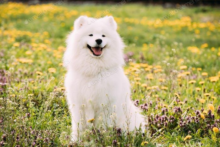 Jeune Happy Smiling White Samoyed Chien Ou Bjelkier, Smiley, Sammy