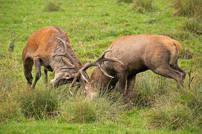 Red deer, cervus elaphus, fight during the rut