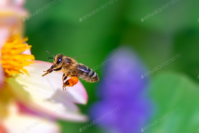 Bee flying to a pink flower blossom