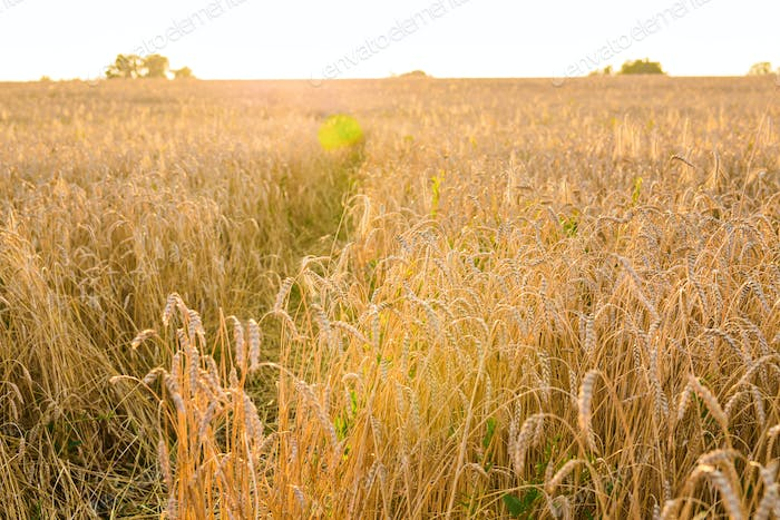 Oat Field in sunlight