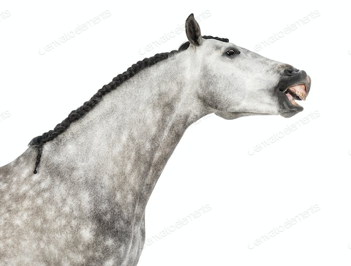 Close-up of an Andalusian head, 7 years old, making a face, stretching its neck,