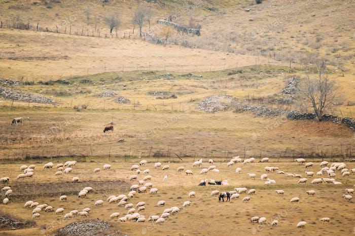 Georgia. Flock Of Sheeps In Mountains Of Georgia. Autumn Pasture