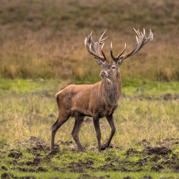 Male red deer