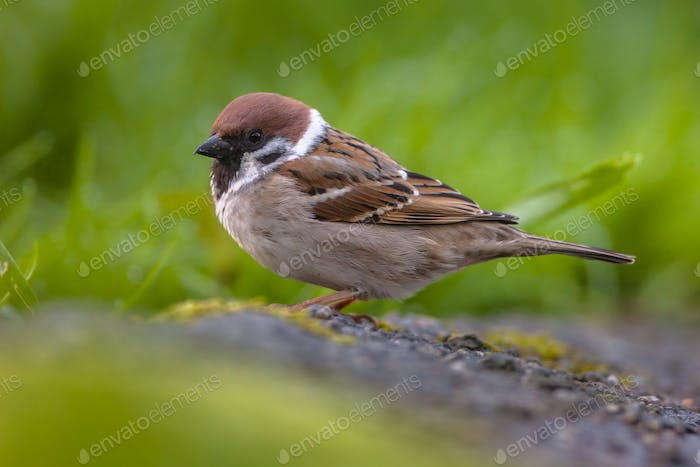 Tree sparrow in garden