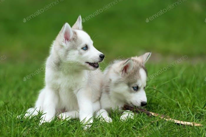 Cute little husky puppy