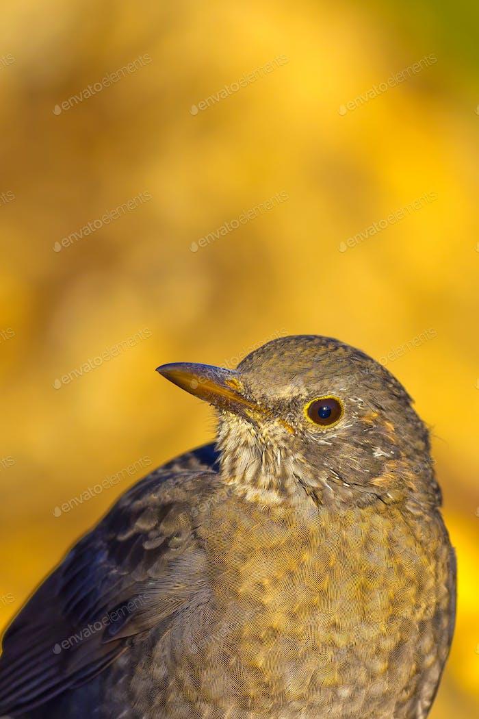 Blackbird, Mediterranean Forest, Spain
