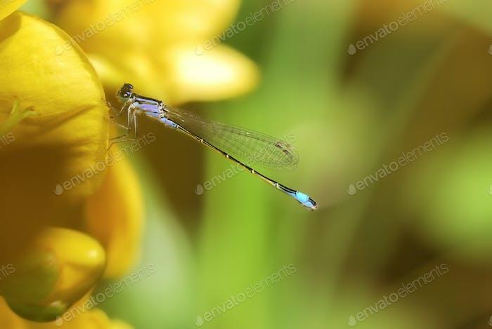 Damselfly on a yellow flower