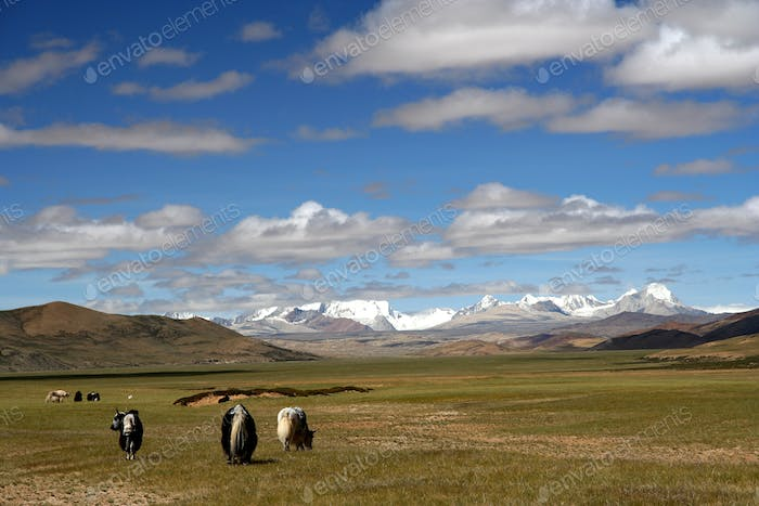 Yaks on Tibetan Plateau