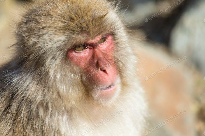 Wildness Japanese Monkey