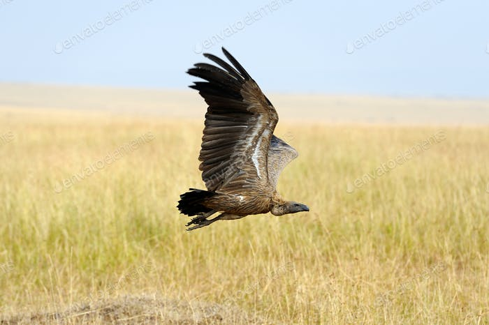 Vulture flying. Masai Mara National Park