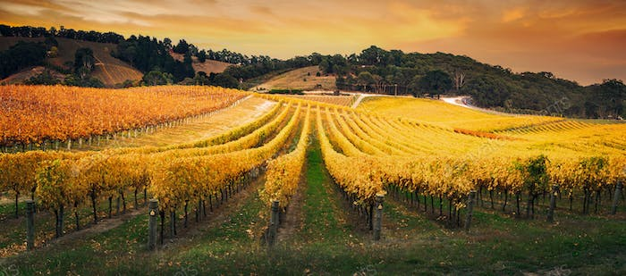 Golden Morning Vineyard