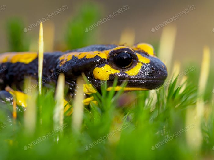Sideview of Fire salamander on moss