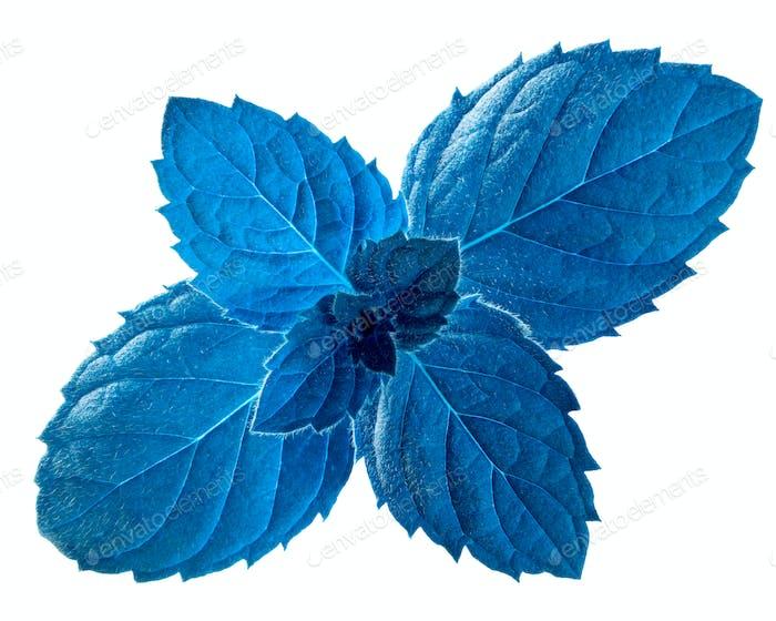 Blue peppermint m. piperita leaves, paths