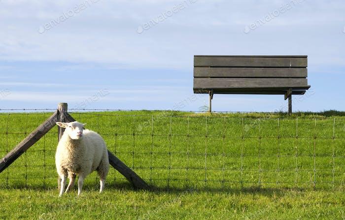 Schafe auf einem Deich in der Nähe von Moddergat