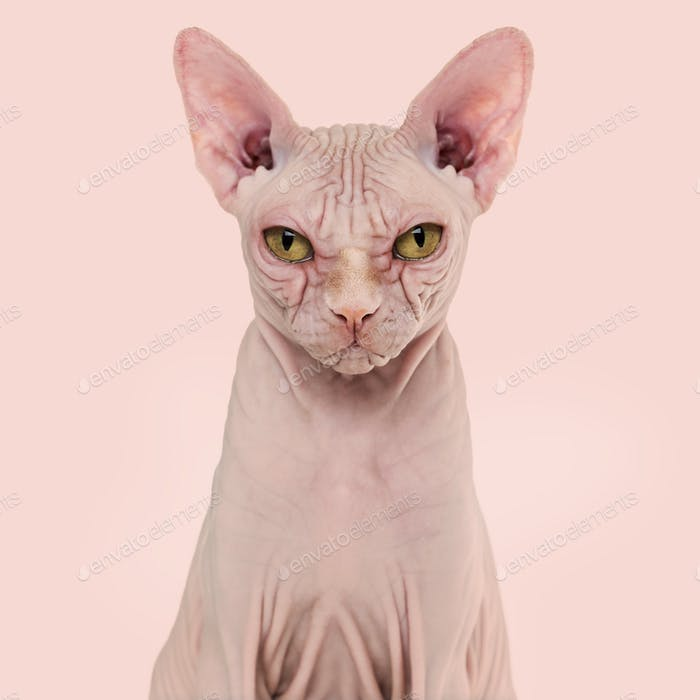 Sphynx Hairless Cat, 4 years old, against pink background