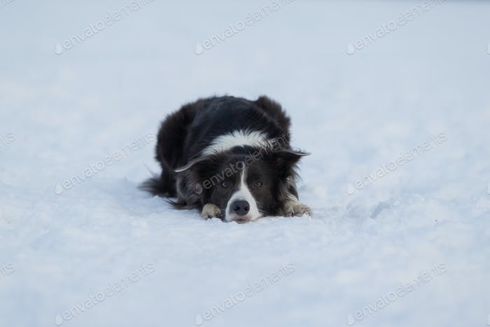 Dog Border Collie on a walk in winter