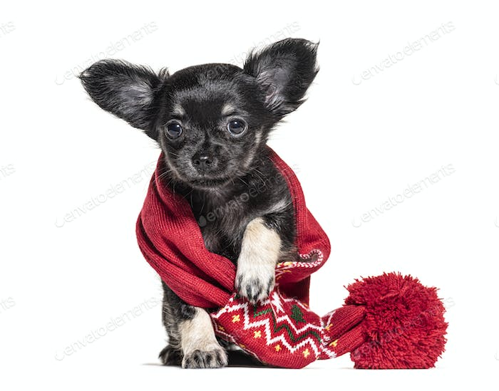 Puppy Chihuahua Wearing a red scarf, 2 months old, isolated