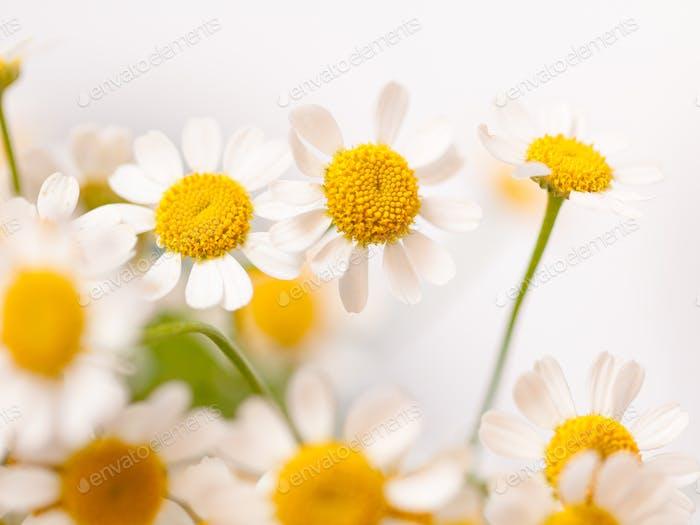 Little daisy flowers bouquet over white. Soft focus, top view, close-up composition. Copy space.