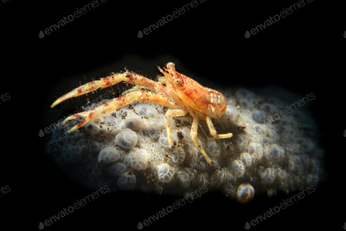 Orange squat lobster on a sponge