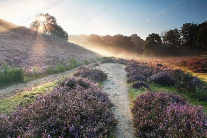 sunbeams behind the hill and flowering heather