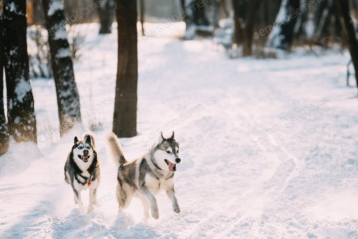 Happy Siberian Husky Dogs Running Together Outdoor In Snowy Park