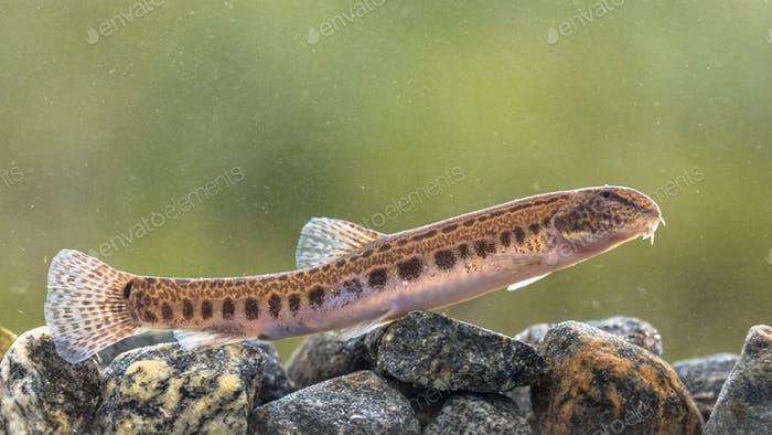 Spined loach in water
