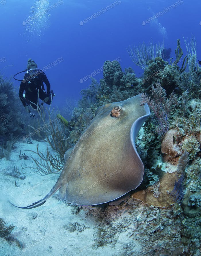 Scuba diver watching a stingray as it swims over reef.