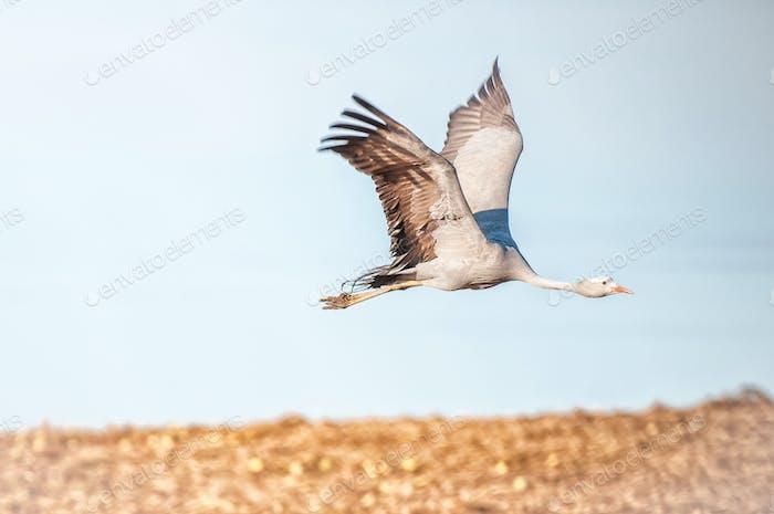 Flying Blue Crane