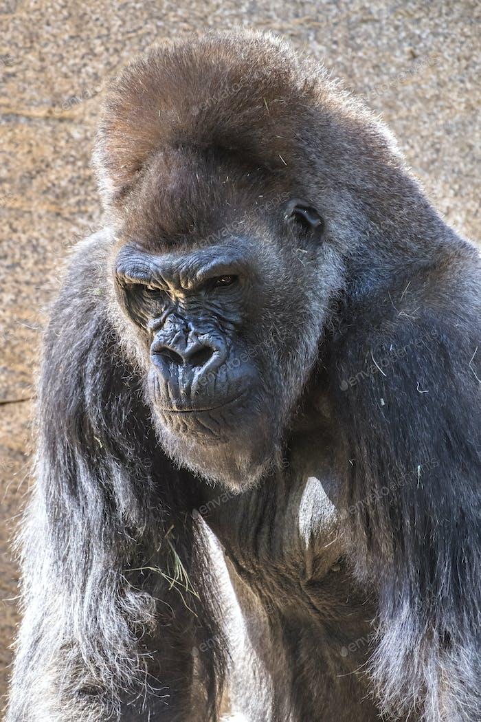 Authoritative Silverback Gorilla