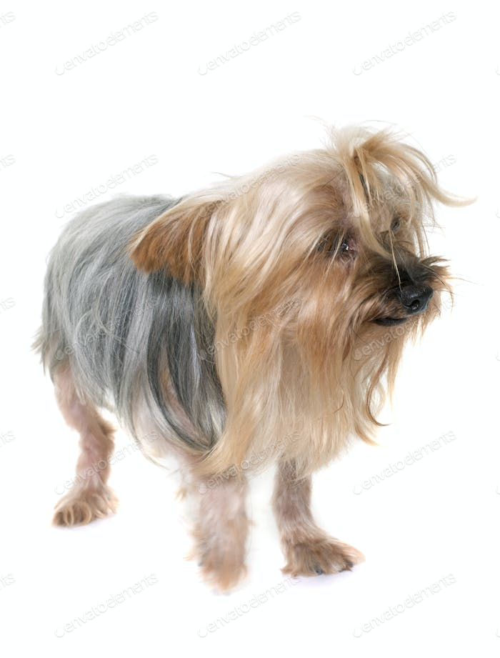 old yorkshire terrier