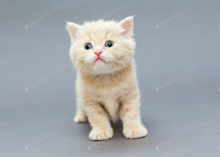 Kleine britische Kätzchen beige