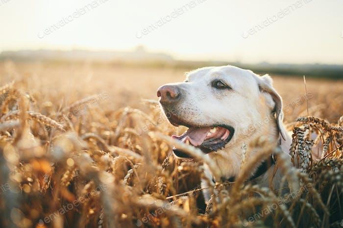 Dog in heat summer day