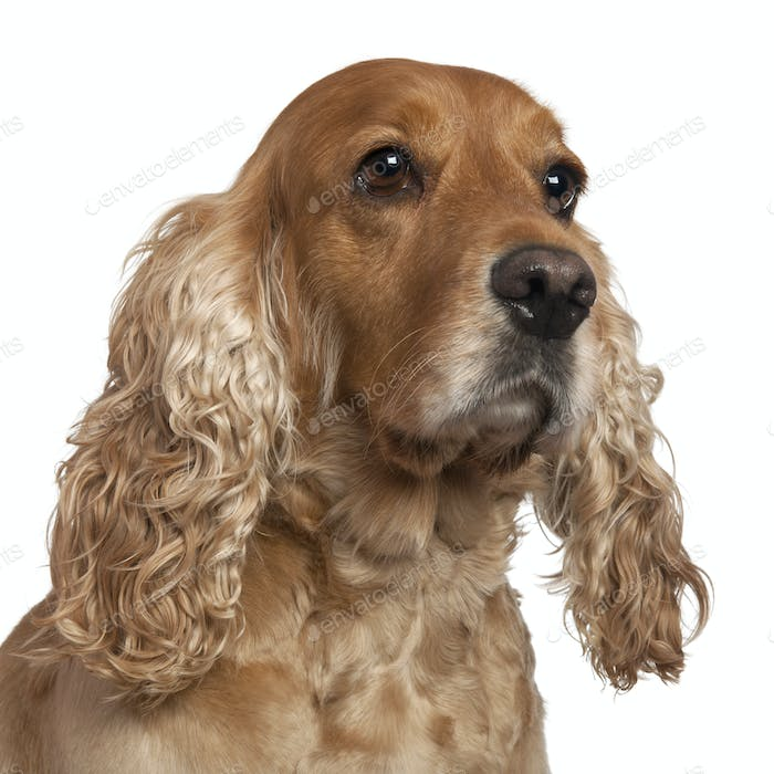 English Cocker Spaniel, 4 years old, in front of white background