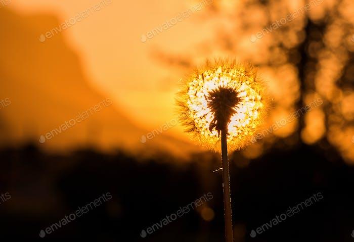 Dandelion in the setting sun