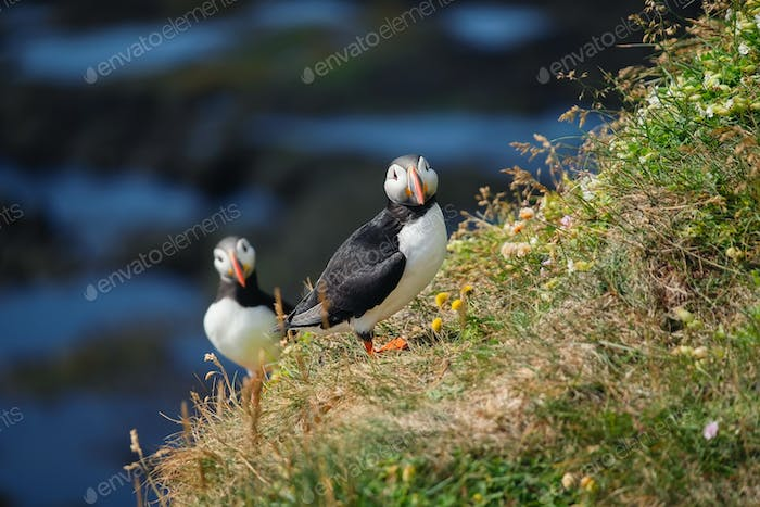 Puffins in Iceland. Seabirds on sheer cliffs. Birds on the Westfjord in Iceland.