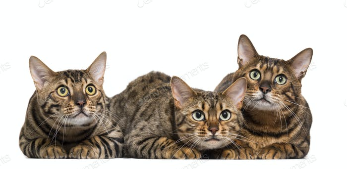 Three Bengals Cat Lying down in a raw, cut out
