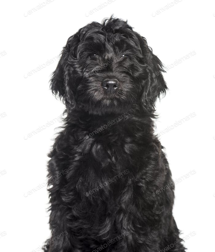 Mixed-breed labradoodle looking at camera against white background