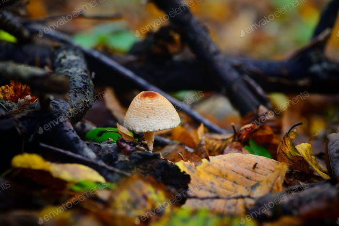 A poisonous mushroom between colorful leaves in autumn forest