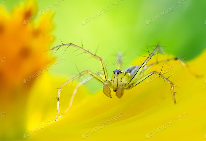 Tiny spider on yellow petal