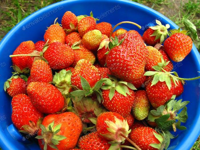 Blauer Korb mit frischen Erdbeeren