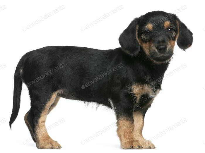 Mixed breed puppy standing in front of white background